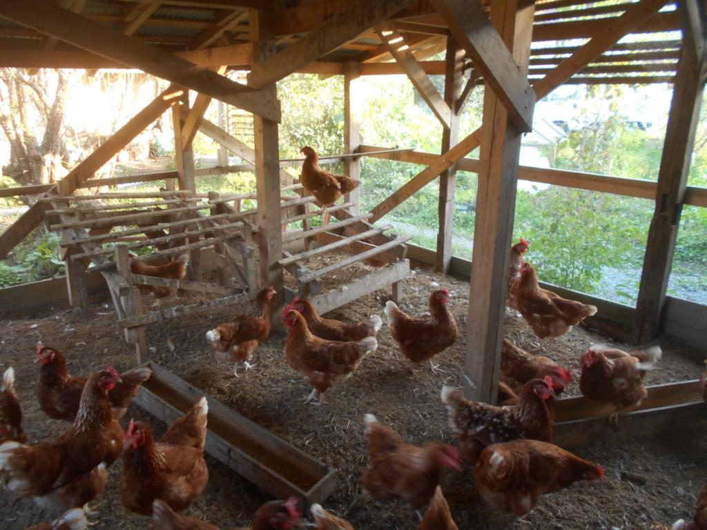 鶏を飼って、卵を自給自足。