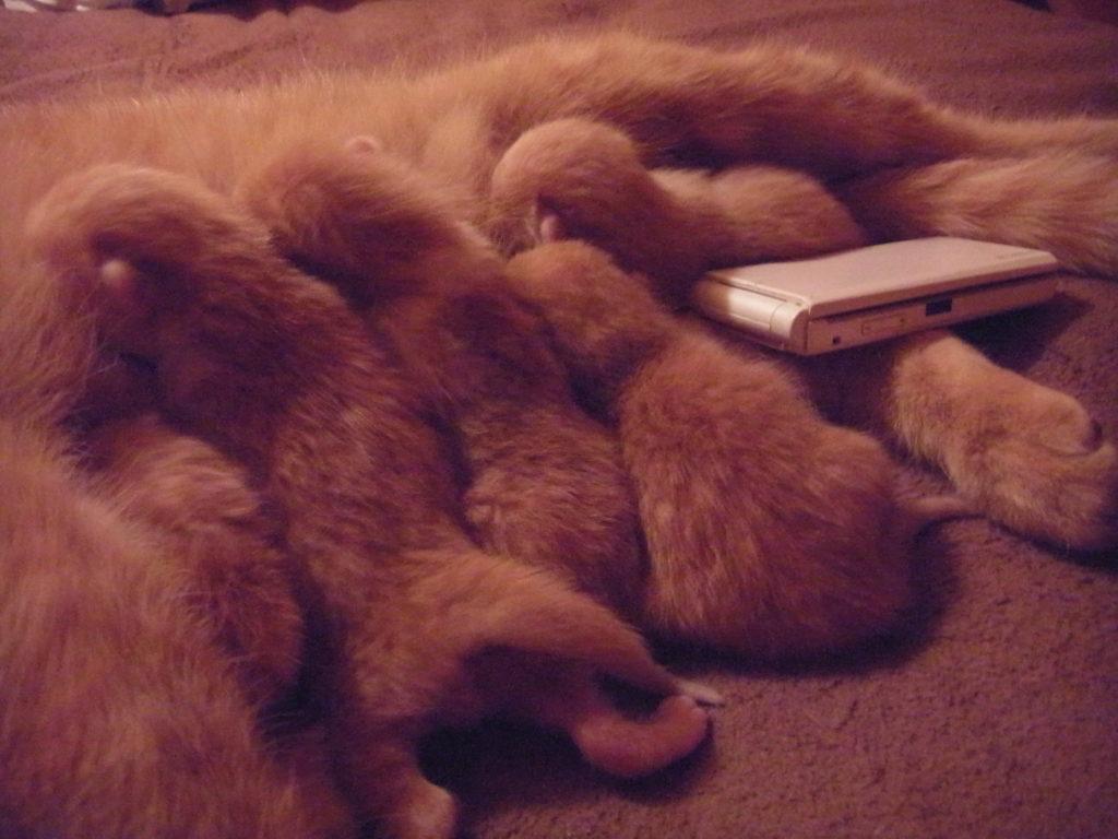 子猫のサイズは、携帯と同じ大きさ。