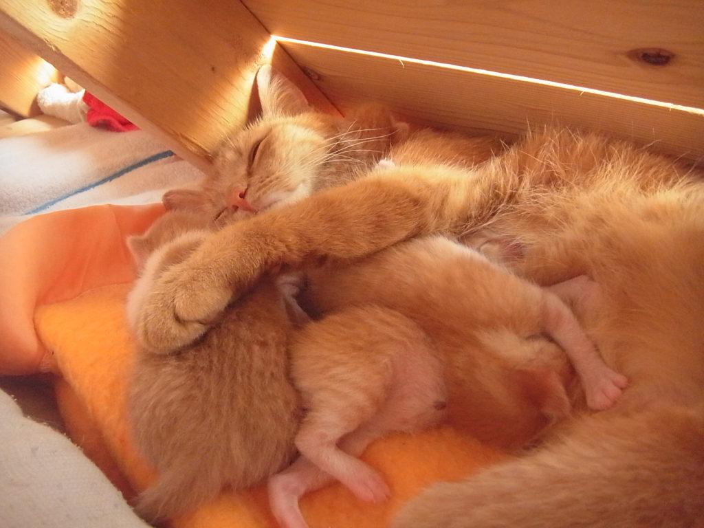 子猫を抱きしめながら、眠る親猫。