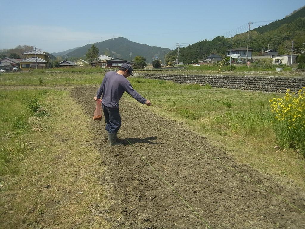 畑苗代に、種もみを蒔く人。