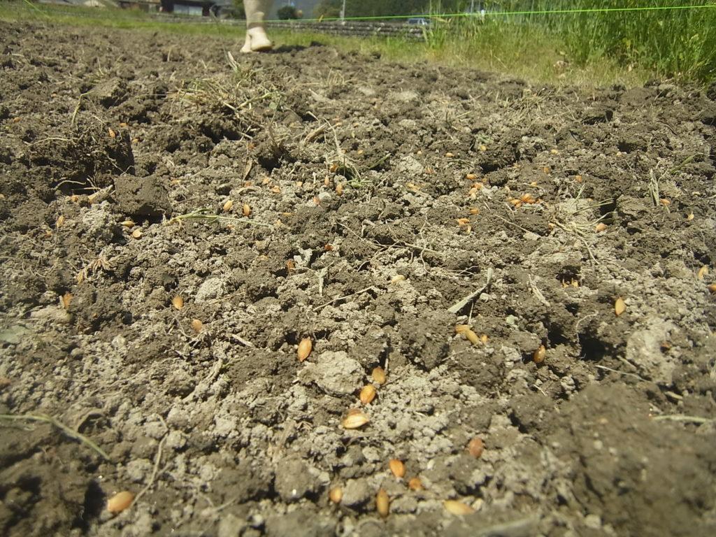 畑苗代の土の上に蒔かれた種籾。