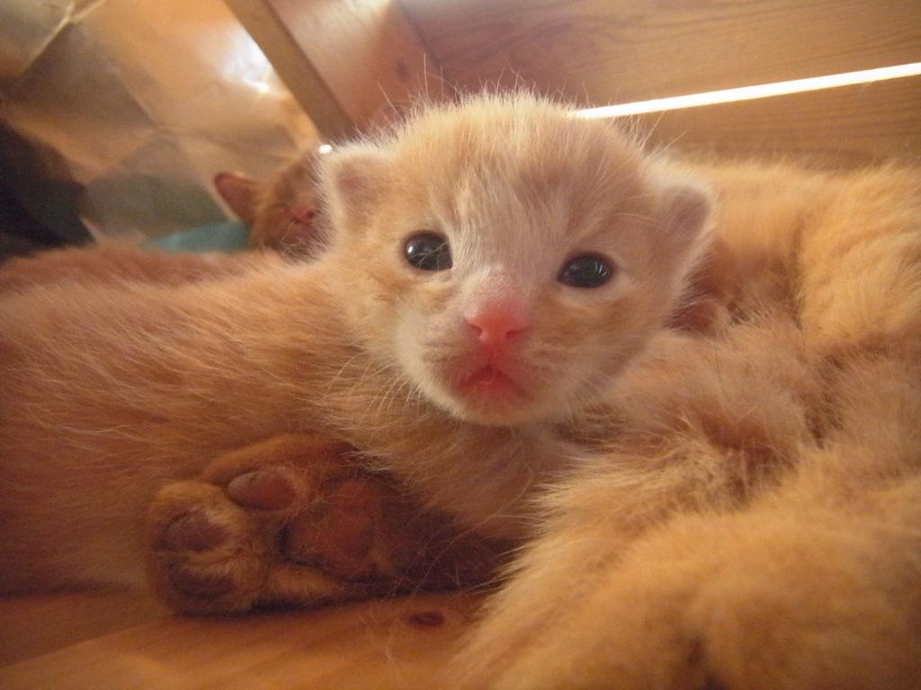 子猫の目は青色。