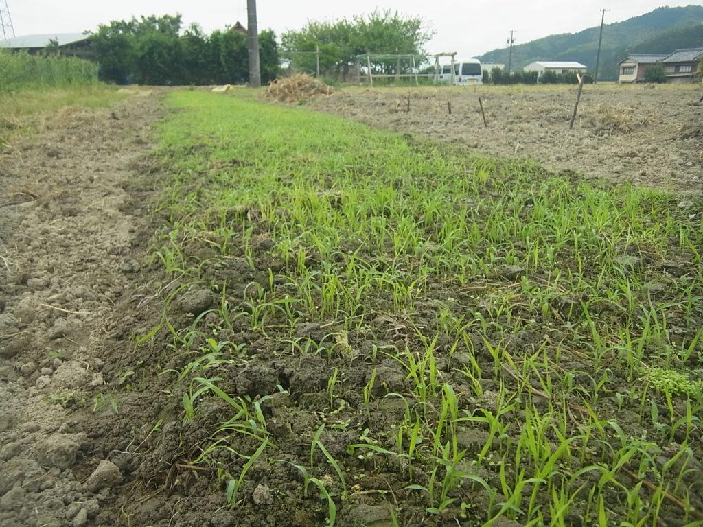 畑苗代に稲が発芽。