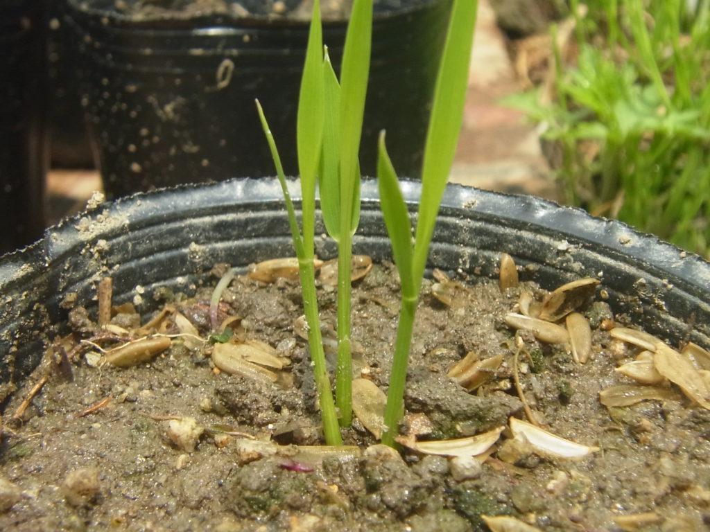 ポットから、芽が出た稲。