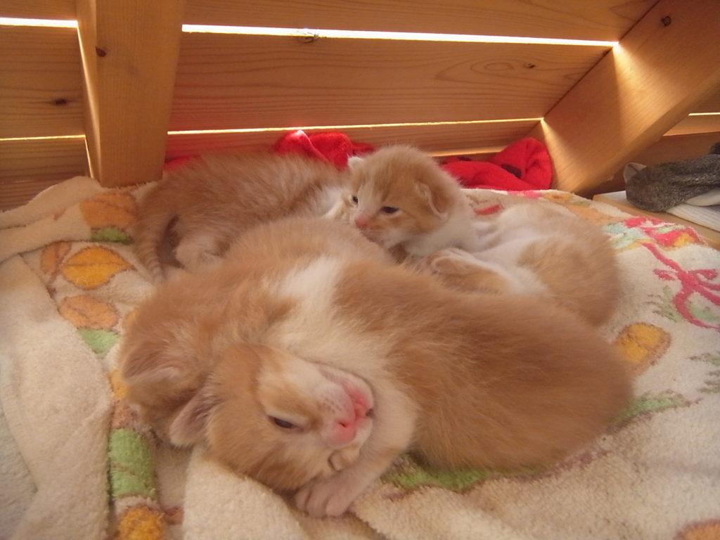 5匹で固まって眠る子猫。