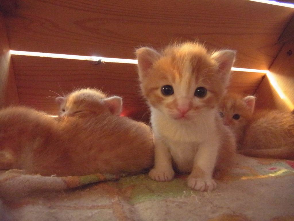超可愛い茶トラ白の子猫。