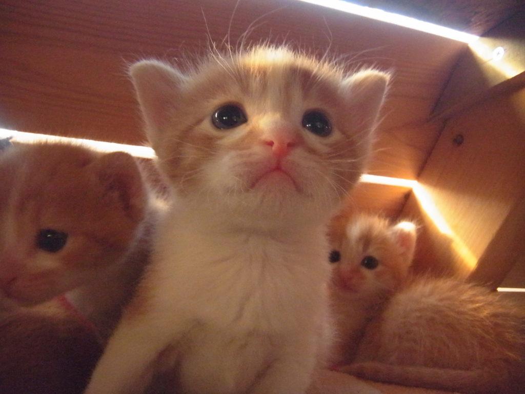 可愛い茶トラ白の子猫のアップ。
