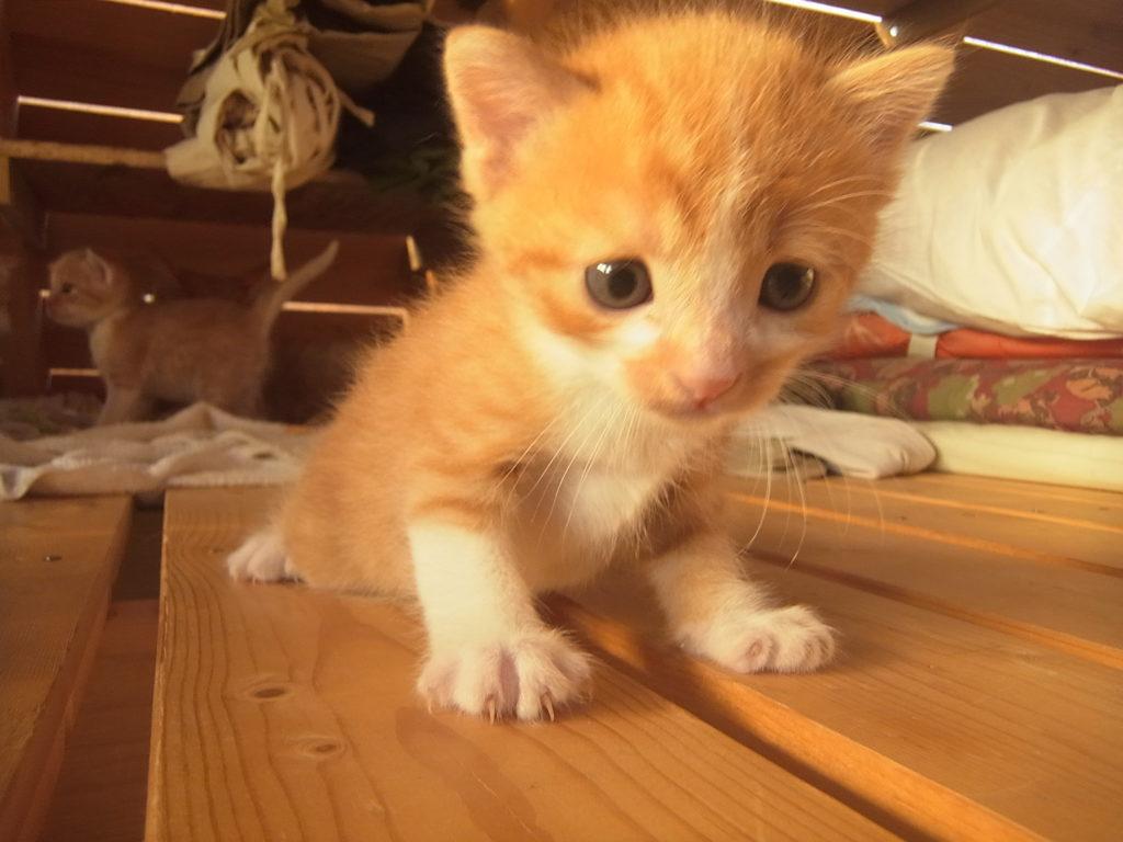茶トラ白の子猫一生懸命歩く。