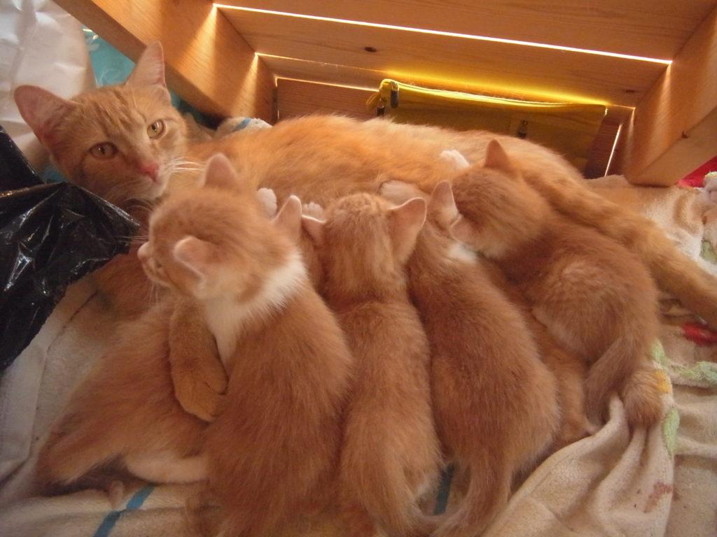 茶トラ猫からオッパイを吸う子猫たち。