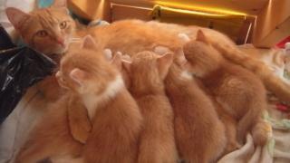茶トラ猫のオッパイを吸う、子猫たち。