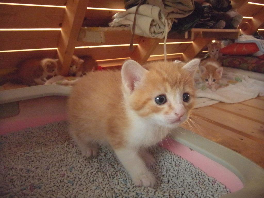 トイレを覚えた可愛い子猫。