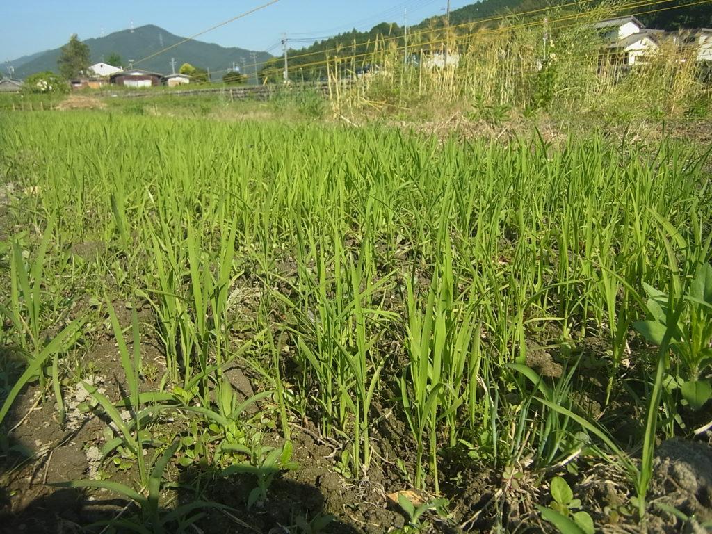 畑苗代で稲が生長する。