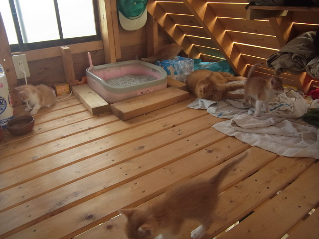 だいぶ活発になってきた茶トラの子猫たち。