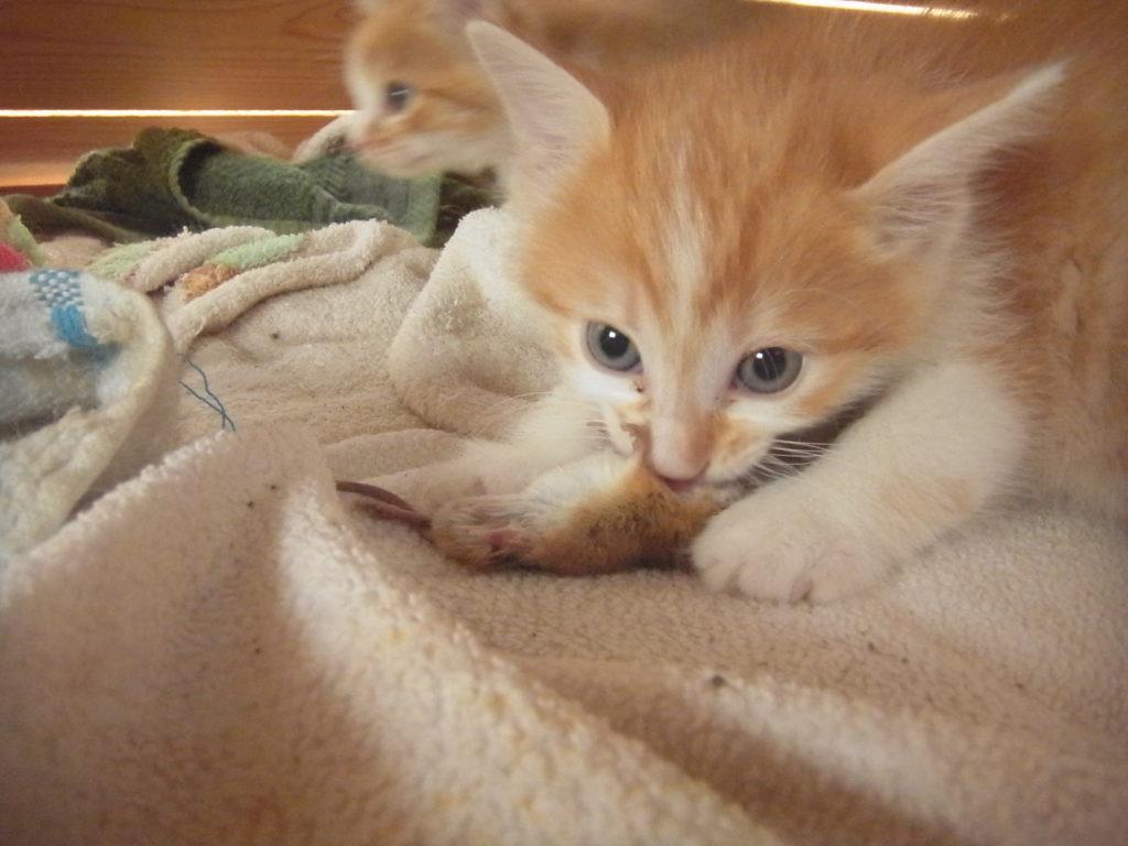 ネズミを咥える茶トラ猫の子供。