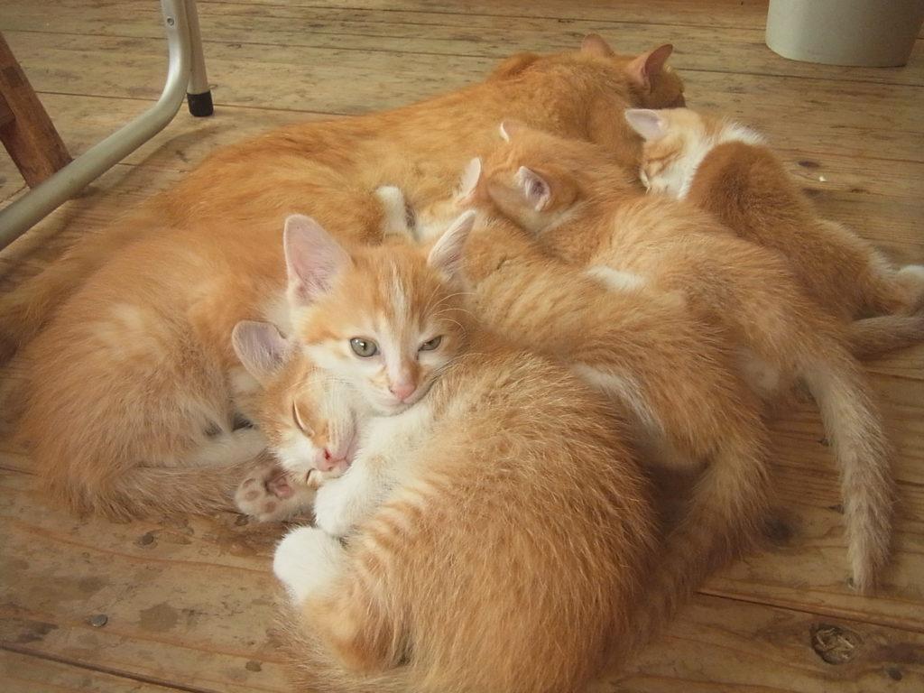 茶トラ猫と少し大きくなった子猫たち。