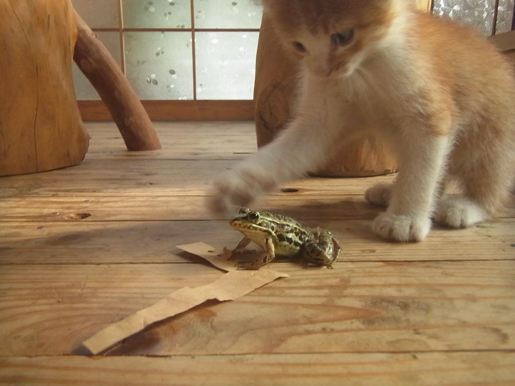 カエルと戦う茶トラ猫の子供。