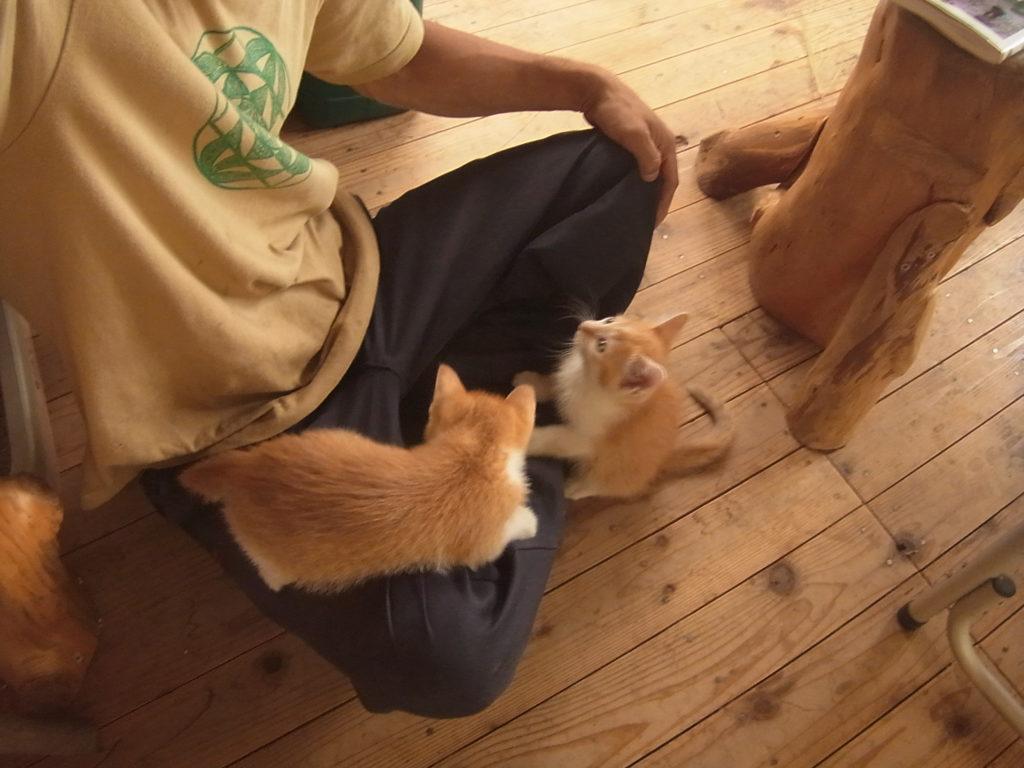 人の膝の上で遊ぶ茶トラ猫の子供。