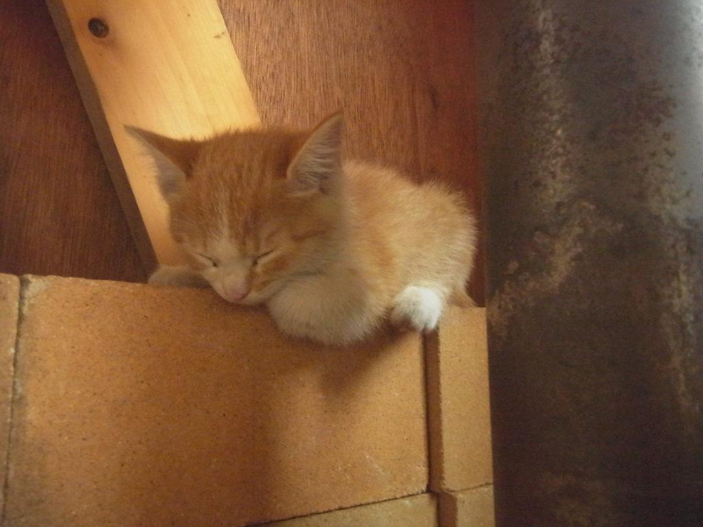 レンガの上で眠る茶トラの子猫。