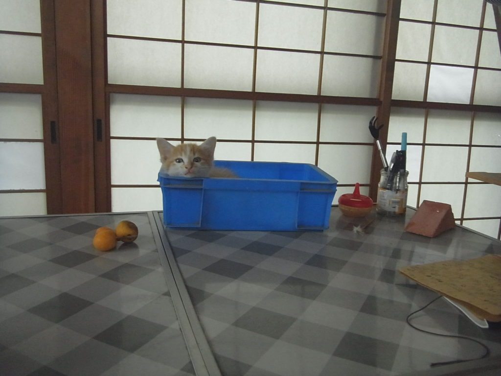 小さい箱に入って顔を出す茶トラの子猫。