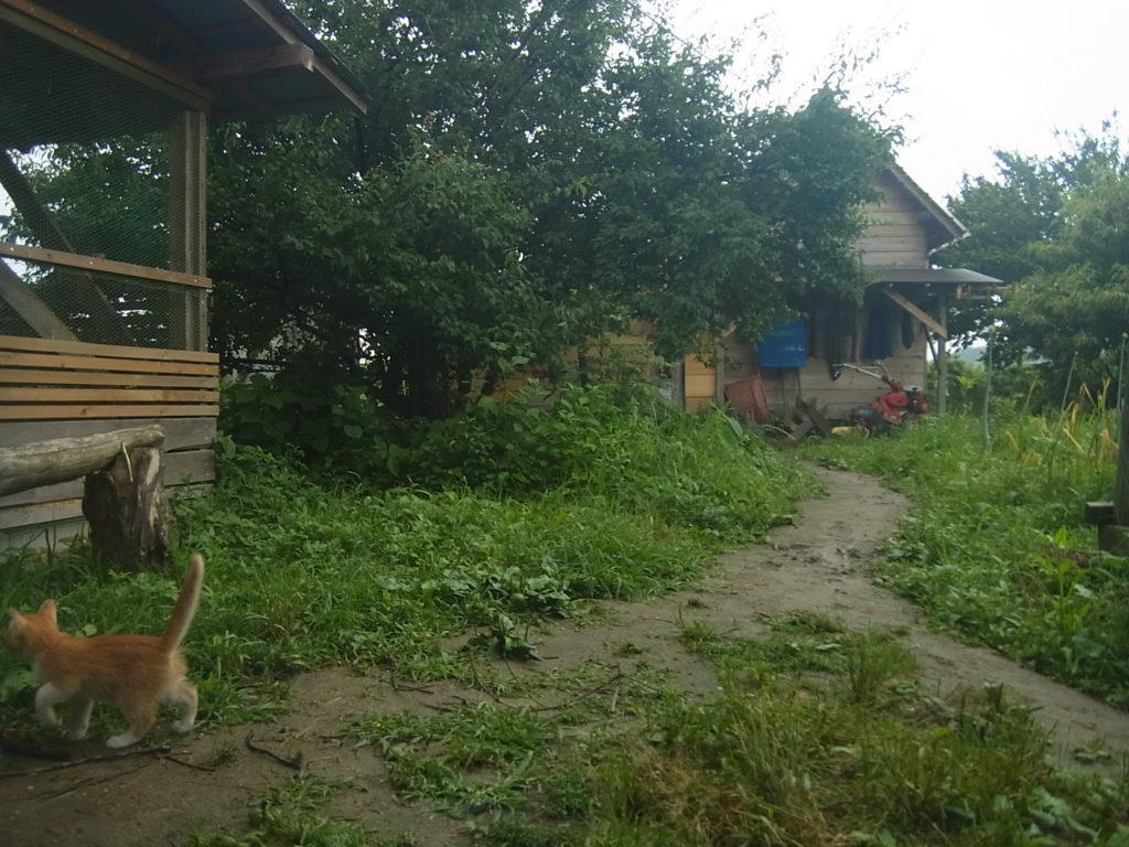 室外に出るようになった茶トラの子猫。