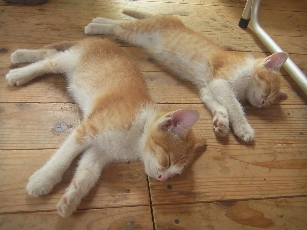 同じ格好で眠る可愛い子猫。