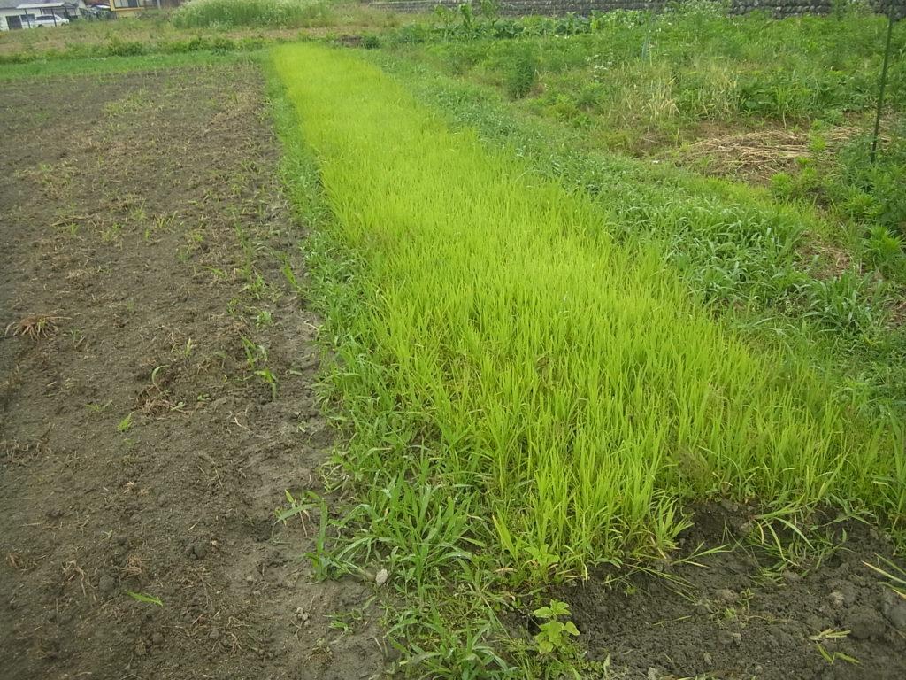 畑苗代の稲の様子。