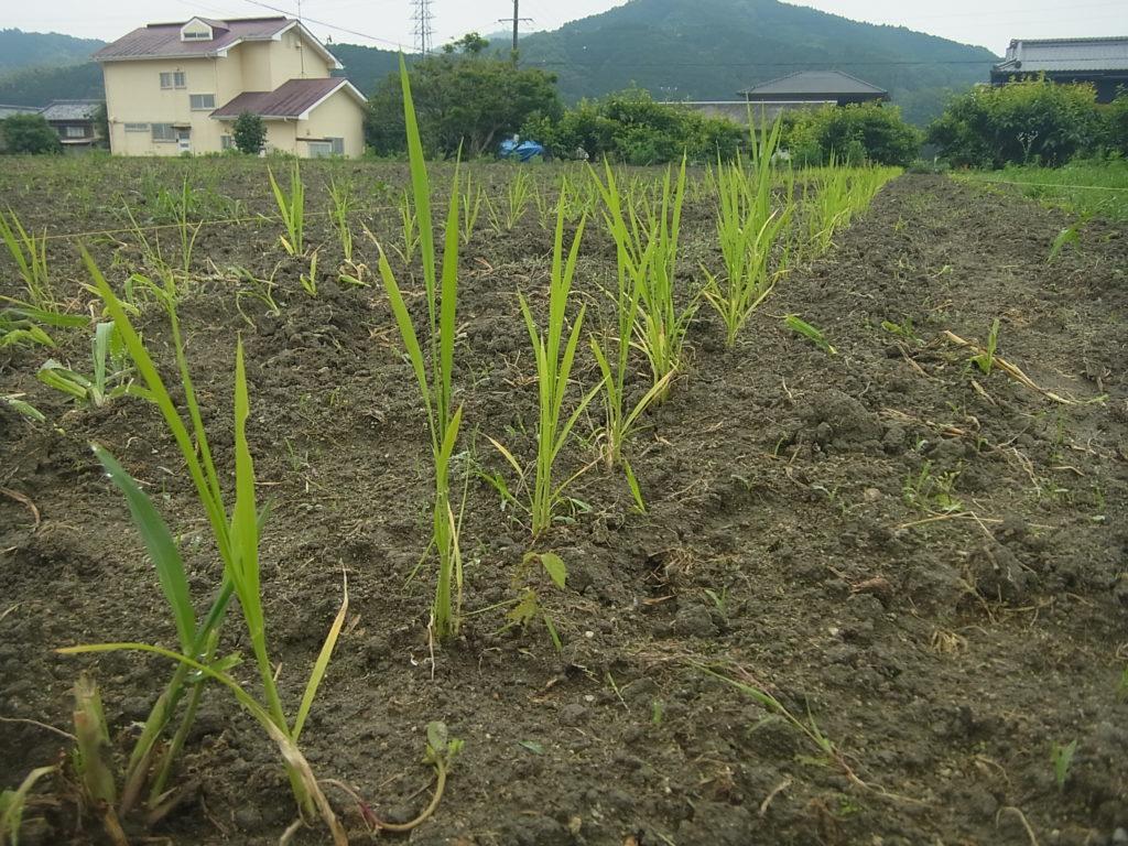 稲の苗を条に定植。