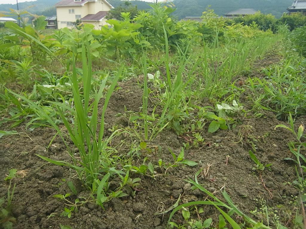 陸稲の稲、草と共に成長中。