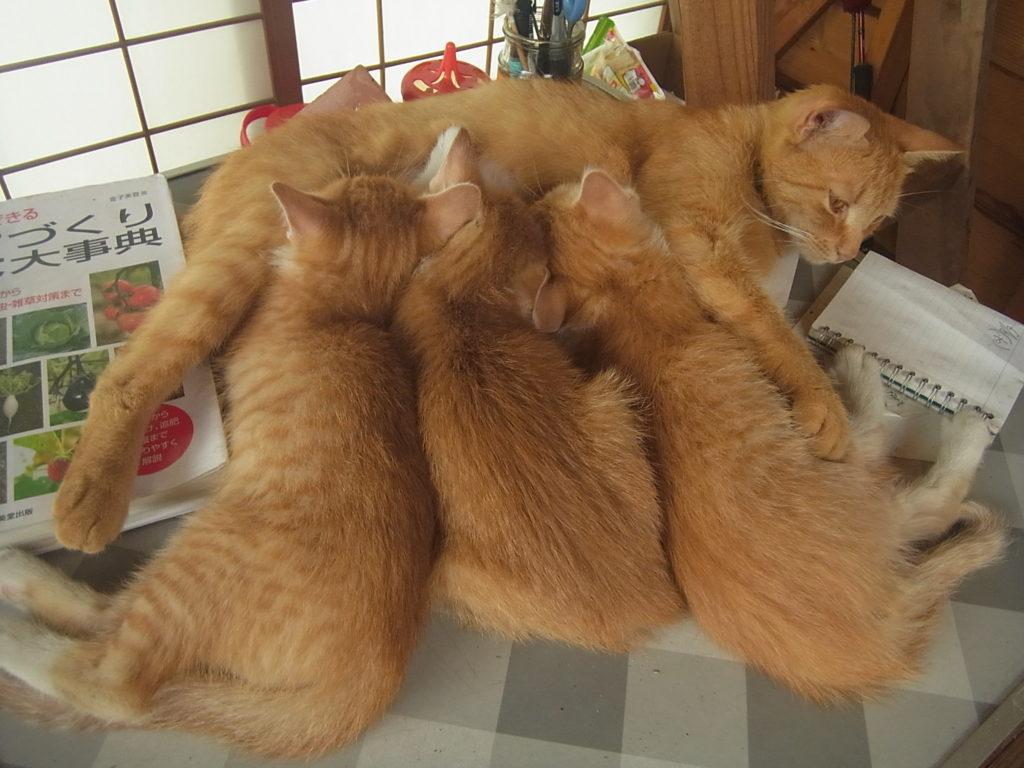 茶トラ猫からオッパイを吸う子猫3匹。