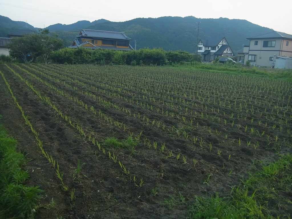 条に植えられた稲の苗。