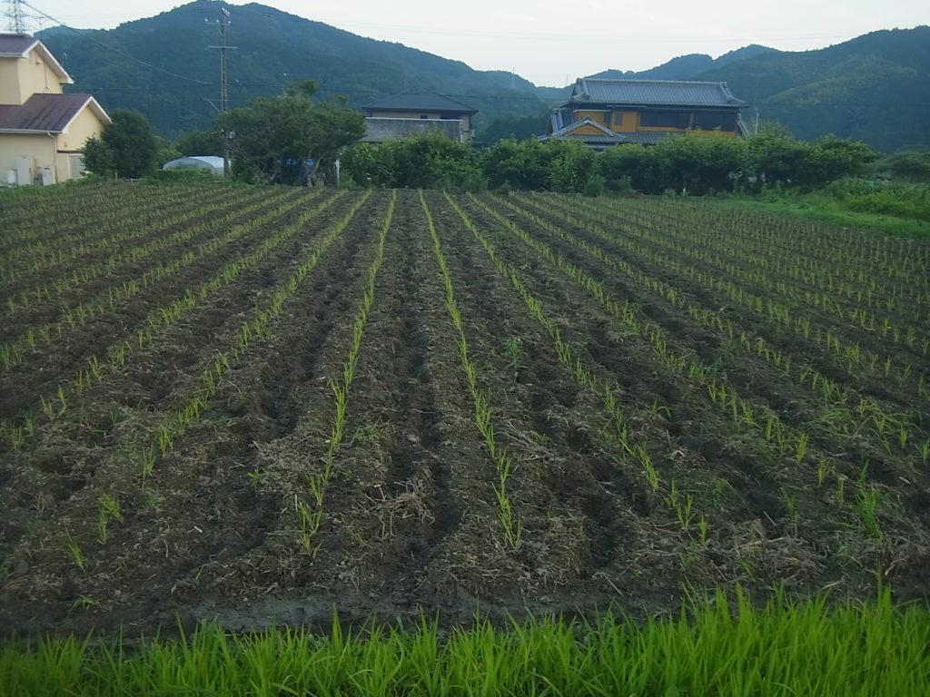 真正面から見た植えられた稲の苗