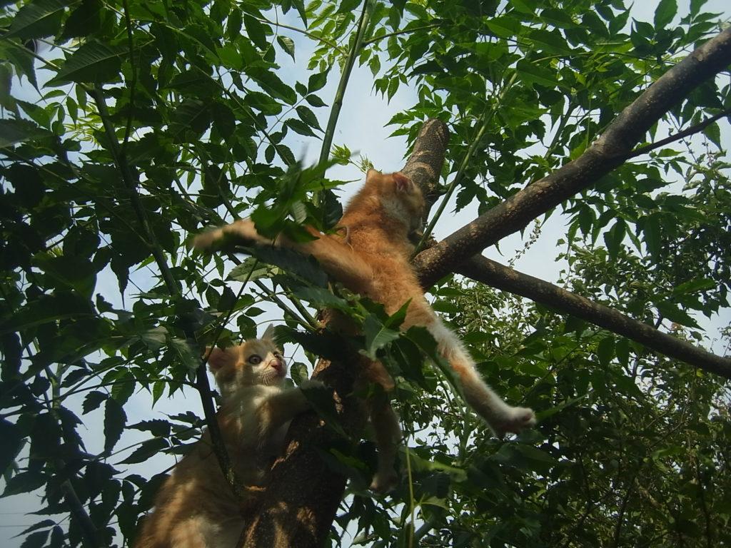 木登りする茶トラの子猫。