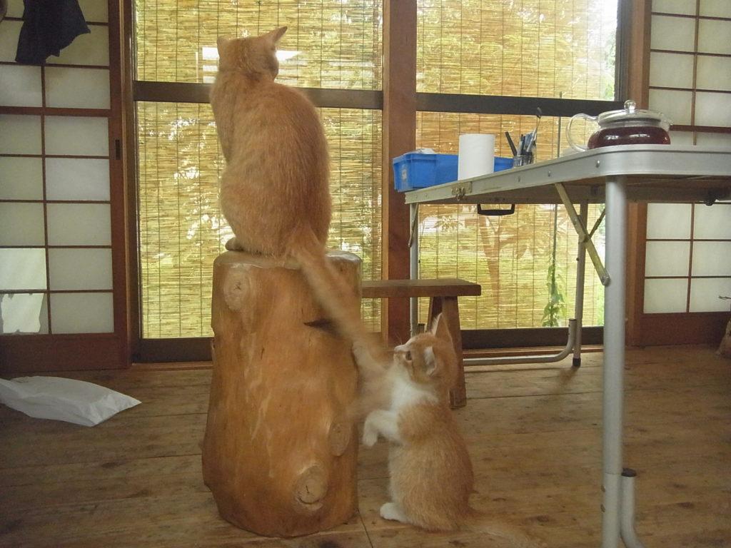 茶トラ猫の尻尾で遊ぶ可愛い子猫。