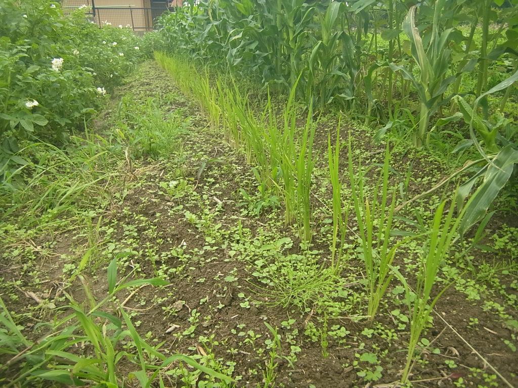 コシヒカリを畑に定植。