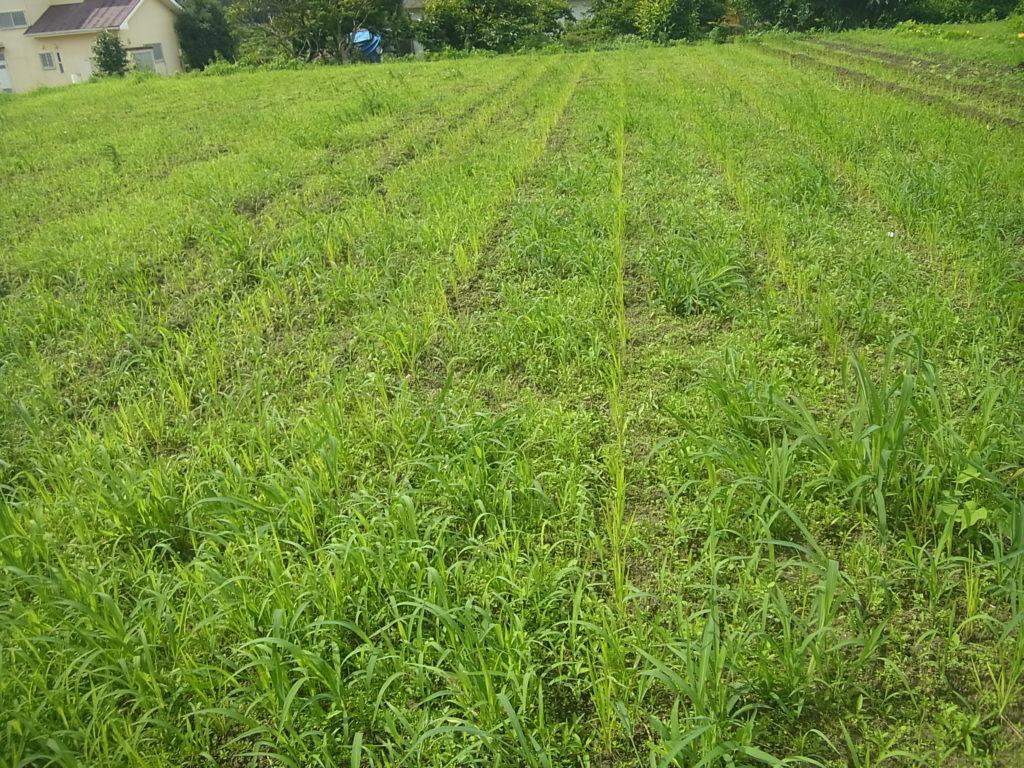 陸稲畑、草がたくさん生える。