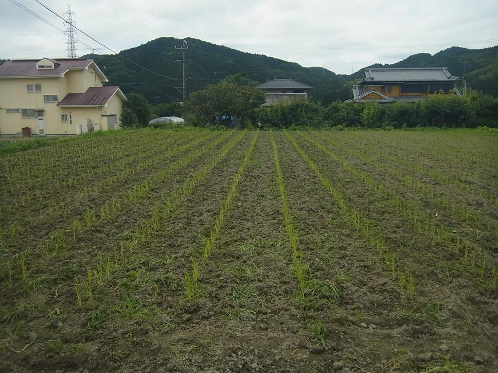 陸稲畑、草を除草して綺麗になる。