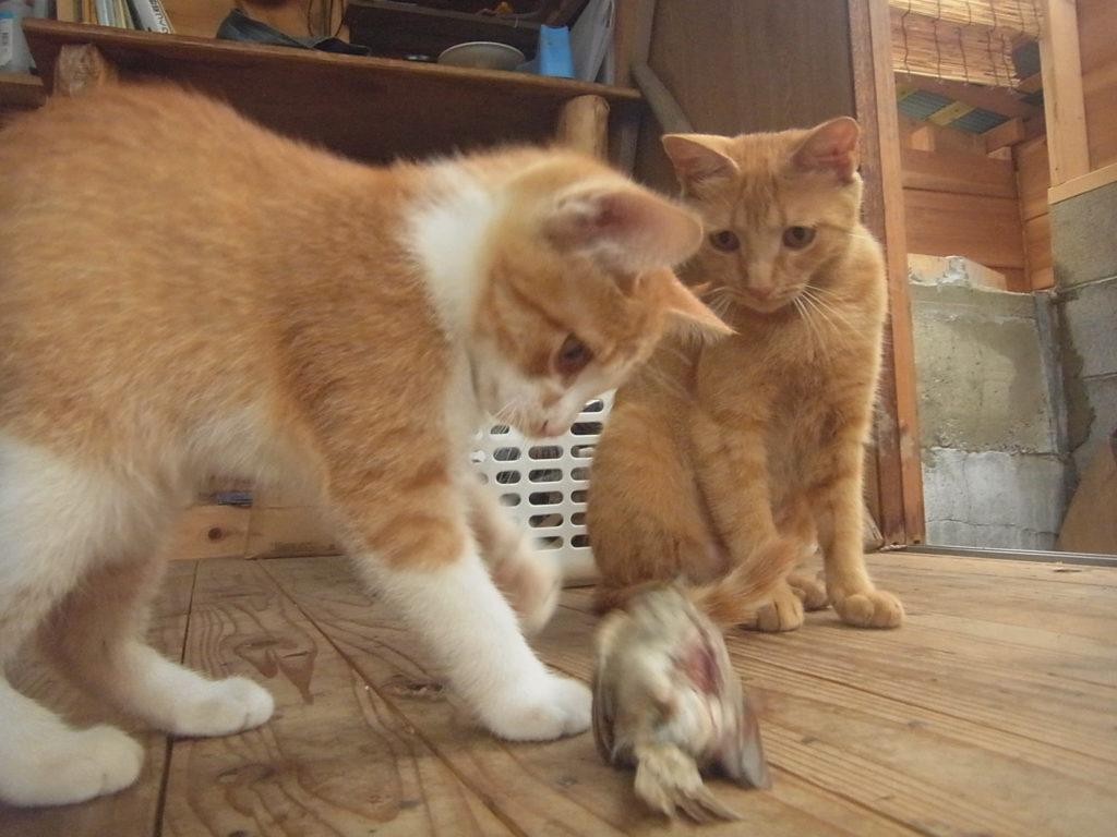 母猫の茶トラ猫がスズメを捕まえてくる。
