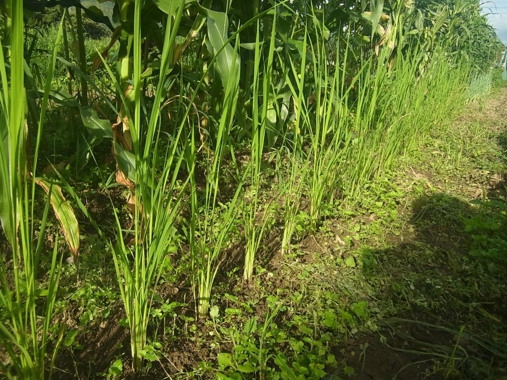 コシヒカリの畑で成長。