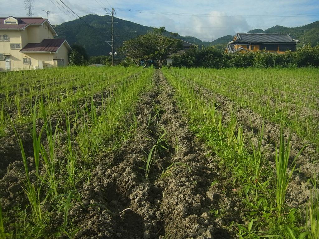 陸稲の条間を中耕する。