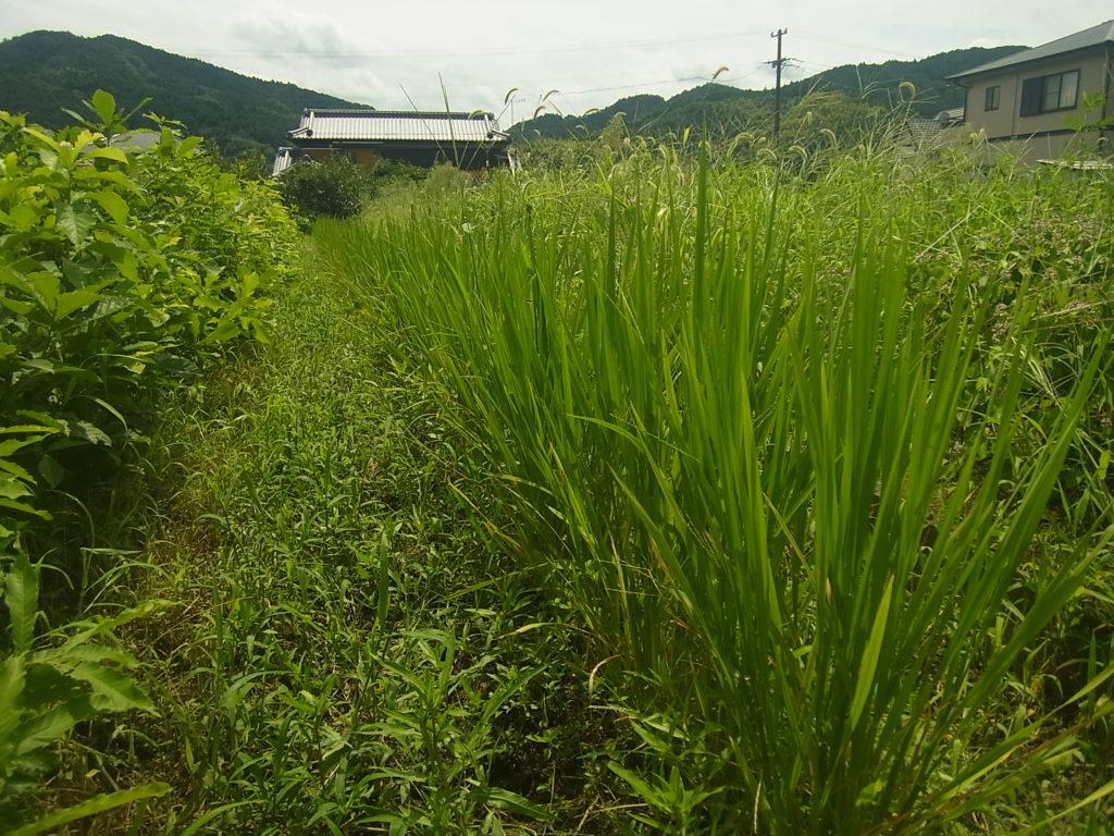 草と陸稲。