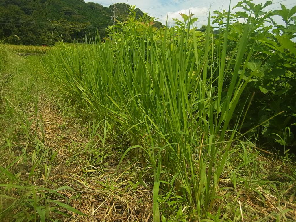 陸稲の草を除草。
