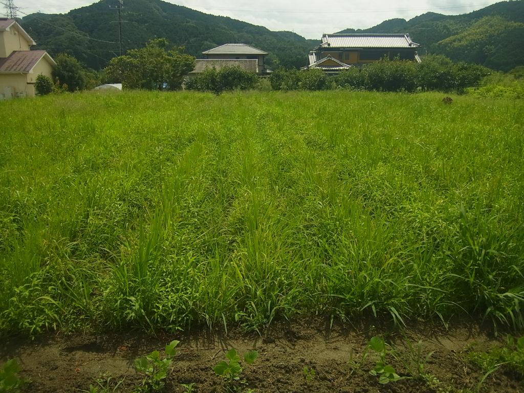 陸稲さらに草が生える。