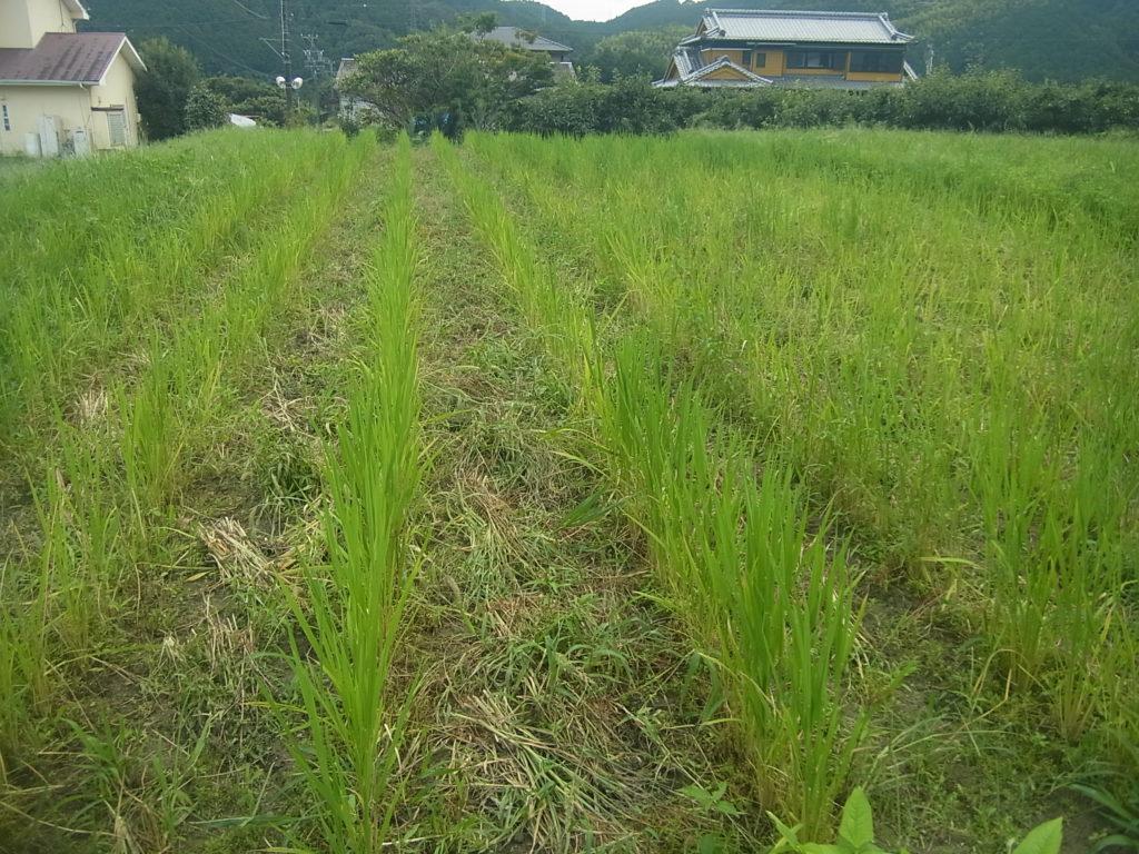 陸稲畑の除草。
