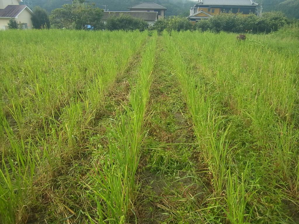 陸稲畑も出穂。
