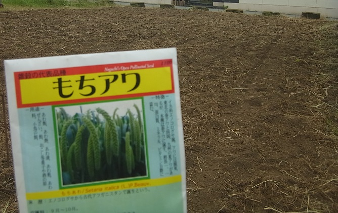 畑をバックに、モチあわの種の袋。