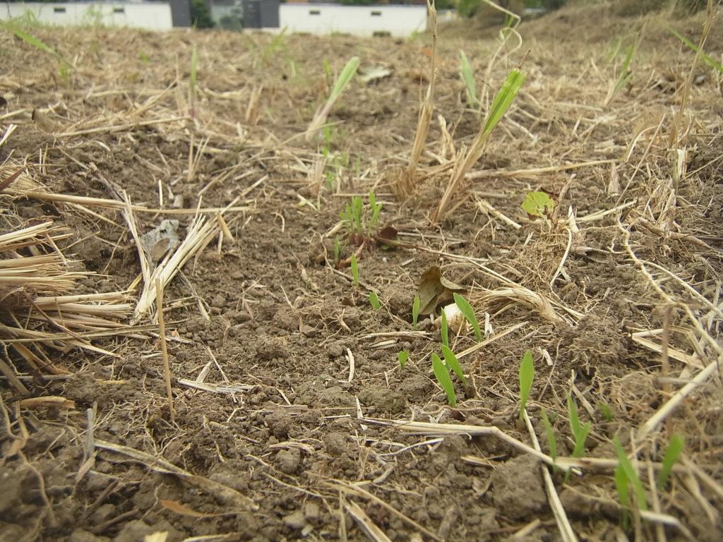 畑で、もちあわが発芽。