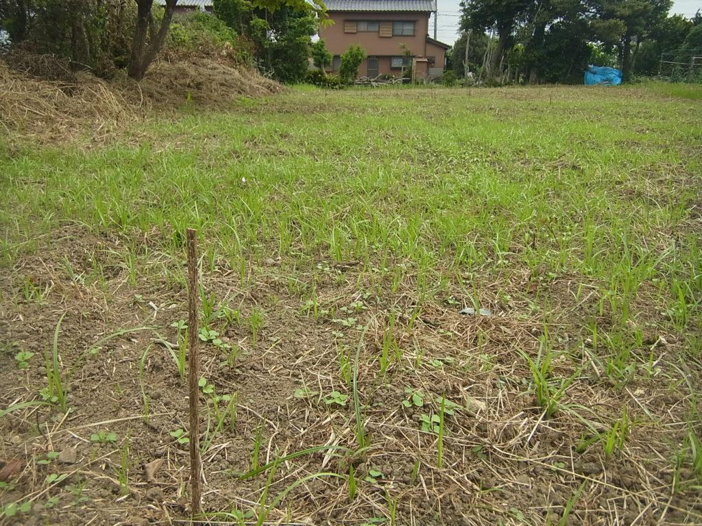 もちあわと草が発芽。