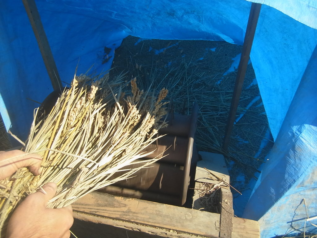 足踏み脱穀機で稲を脱穀。