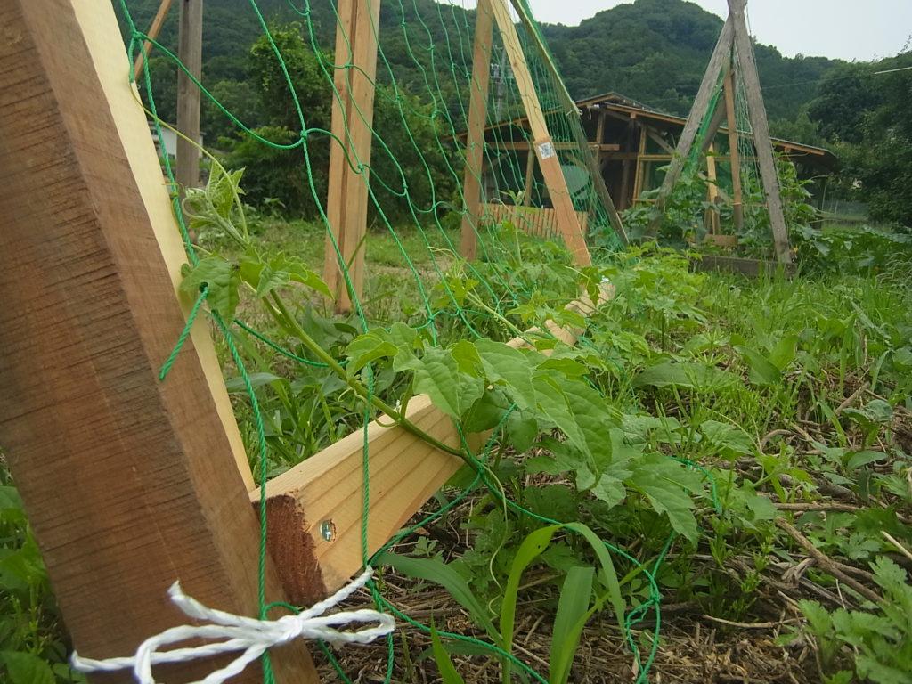 パーゴラにゴーヤの苗植える。