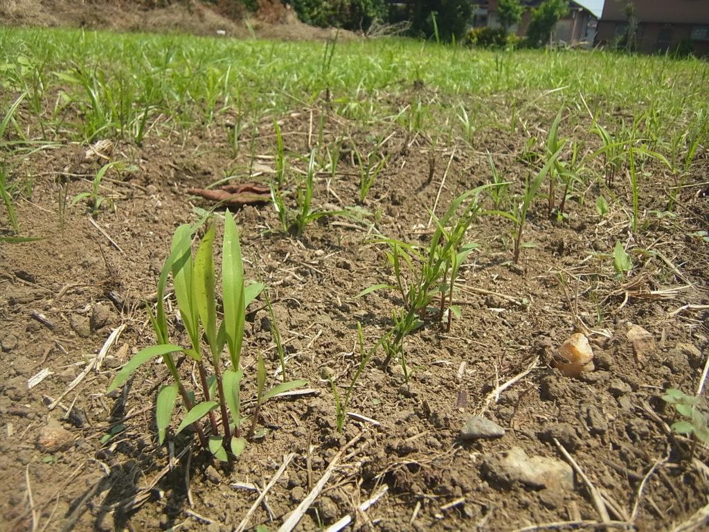 畑に、もち粟が5cmくらいに成長。